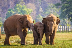 Family of elephants walking toward a river for a bath,Cute elephant family,elephant family enjoying life,asian elephants in nature park