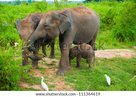Family of elephants with young one in Uda Walawe National Park, Sri-Lanka