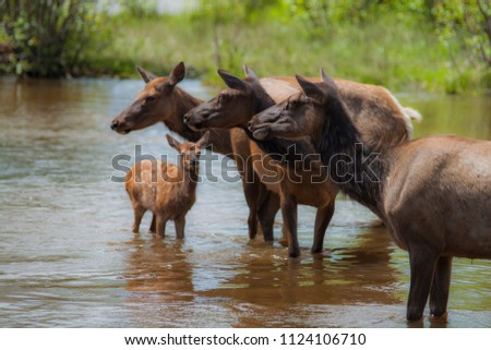 Family of Elk hanging out in natural stream found in Evergreen, Colorado.