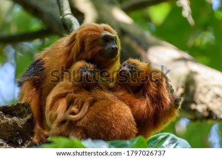 Family of endangered species Golden Lion tamarin, or Mico-Leão-Dourado,(Leontopithecus rosalia), small furry orange primate, two adults with two infants bundled together. Photo stock ©