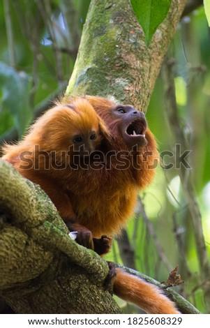 Family of endangered species Golden Lion tamarin, or Mico-Leão-Dourado,(Leontopithecus rosalia), small furry orange primate, adult with baby. Photo stock ©
