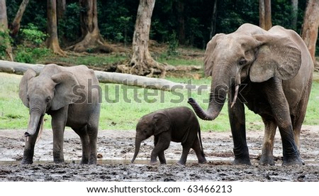 Family of forest Elephants. The African Forest Elephant (Loxodonta cyclotis) is a forest dwelling elephant of the Congo Basin. - stock photo