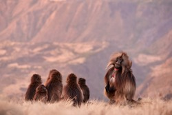 Family of furry monkey, sitting on the edge of clif against steep  mountains in background. Gelada baboon, Theropithecus gelada, wildlife scene from the UNESCO site of Simien Mountains, Ethiopia.