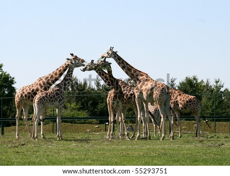 Family of giraffe eating the branches