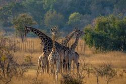 Family of giraffes going to feed, Matopos, Zimbabwe