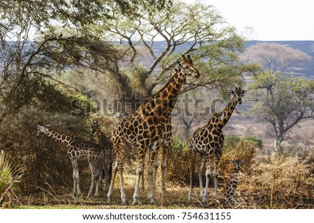Family of giraffes in natural habitat. Queen Elizabeth National Park, Uganda.