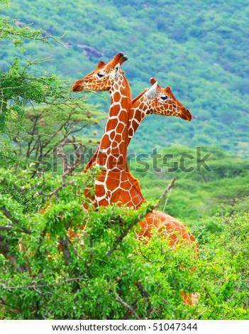 Family of giraffes spotted in the woods of Kenya. Africa #51047344