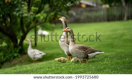 Family of gooses moving freely inside a farm.
