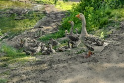 Family of gray domestic geese resting on the shore of a pond on a sunny spring-summer day. Adult gander-dad and goose-mom are standing, and many fluffy teenage goslings are sitting on the ground