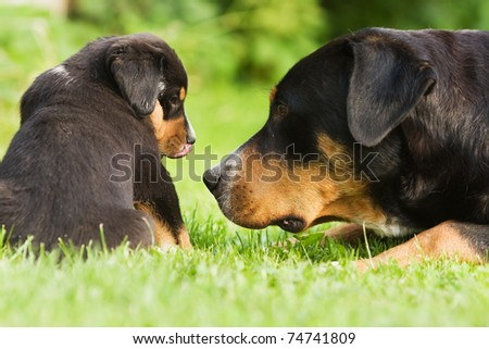 "family of ""great swiss mountain dog"", mother and child take a look to each other"