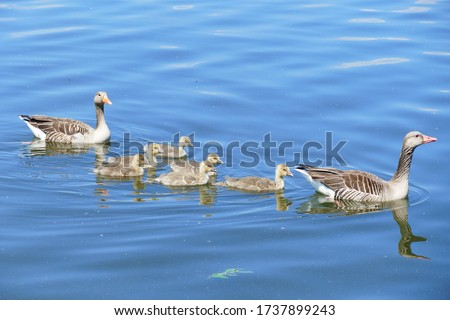Family of grey geese with 6 small babies. The greylag goose (anser anser) is a large goose species of the waterfowl family Anatidae - Steinhude, district of Hannover, Germany