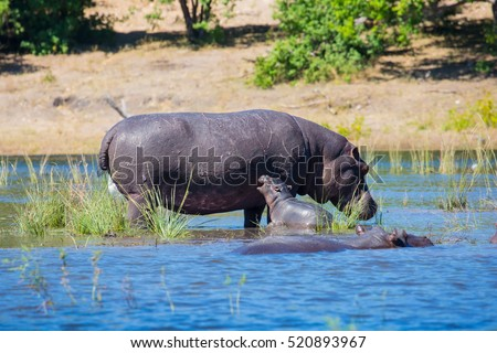 Family of hippos in the river. The concept of exotic tourism in Okavango Delta, Chobe National Park, Botswana