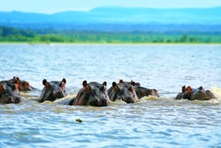 Family of hippos on lake Naivasha. Africa. Kenya