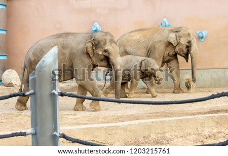Family of Indian elephants. Indian elephant this animal is very clever and extremely capable. Animals live in tropical and deciduous forests. #1203215761