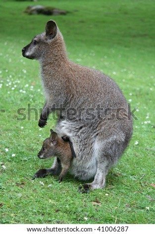Family of kangaroos - mother and baby