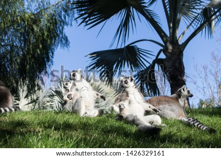 Family of lemurs sunbathing on the grass. The ring tailed lemur, Lemur catta, is a large strepsirrhine primate and the most recognized lemur due to its long, black and white ringed tail.