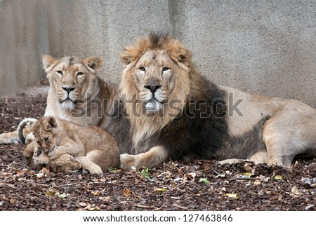 family of lions male female and cubs