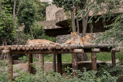 Family of lions resting in the sun