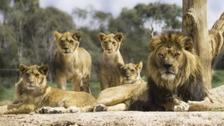 Family of lions resting in the sun and looking alert.