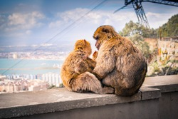 Family of Monkeys (Barbary Macaques) hugging in the top of The Rock of Gibraltar. Monkeys Cuddling. Happy family of Monkeys.