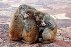 family of monkeys hugging each other in the morning