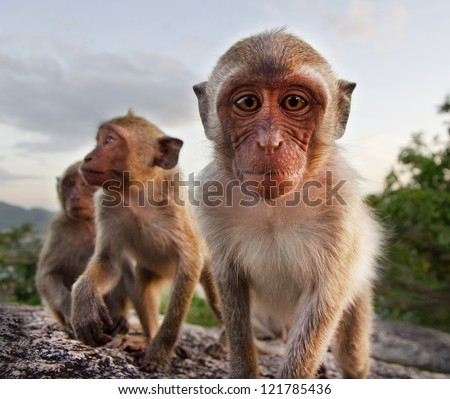 Family of monkeys looking at camera , Thailand