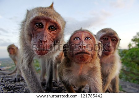 Family of monkeys looking at camera , Thailand