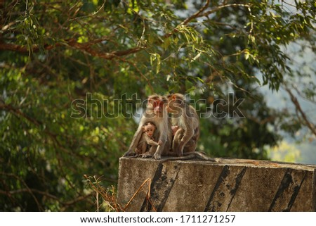 Family of monkeys.Mother and child Rhesus Macaque monkeys, Angkor Wat. Adult monkey taking care of baby monkey. portrait of monkey mother hugging her little baby