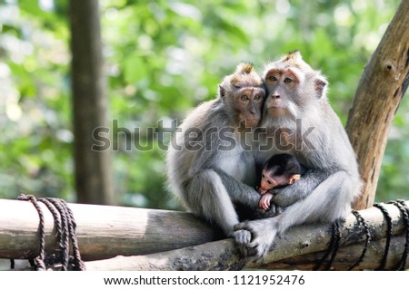 Family of monkeys with a little baby macaque near Tample in Monkey Forest, Ubud, Bali, Indonesia.  #1121952476