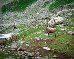 Family of mountain goats (tours) in the caucasus mountains near the lake