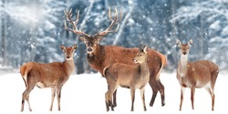 Family of  noble deer against the background of a beautiful winter snow forest. Artistic winter landscape. Christmas image. Wide format.
