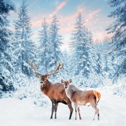 Family of noble deer in a snowy winter forest at sunset. Christmas fantasy image in blue and white color. Snowing. Winter wonderland. Square image.