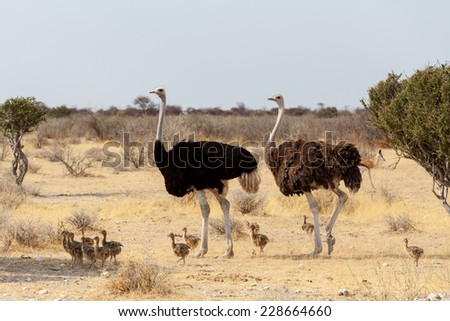 Shutterstock Family of Ostrich with chicken, Struthio camelus, in Etosha Park, Oshana Namibia, South Africa, true wildlife photography