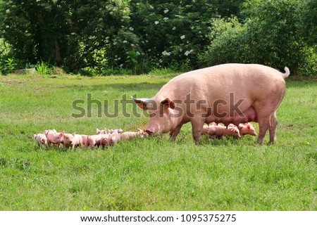 Family of pigs in a green open-air lawn where the puppies are nursing from their mother. concept of biological , animal health , friendship , love of nature . vegan and vegetarian style .