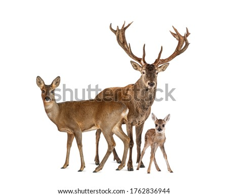 Family of reed dear. Male, Doe and fawn, isolated on white