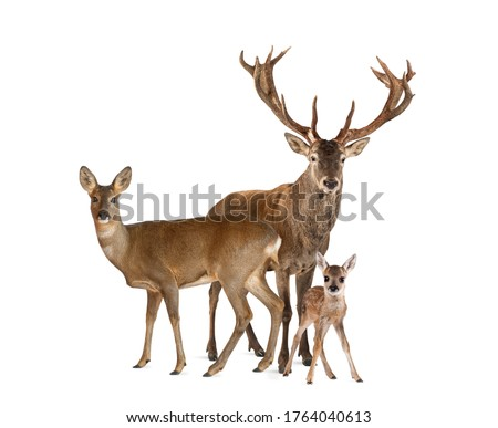 Photo of  Family of reed dear. Male, Doe and fawn, isolated on white