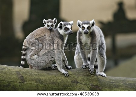 family of Ring Tailed Lemurs