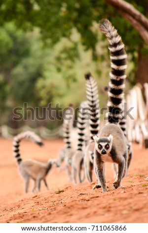 Family of ringtailed lemur, Lemur catta, walking on the ground with their tails up in Berenty reserve Madagascar