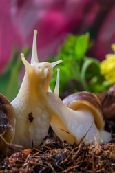 Family of snails in the garden. Macro photo. Two snails on the ground. The soil. Blooming greenery. Snails in their natural habitat. Body structure and surface texture of the snail. Summer background.