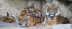 Family of Sumatran tiger (Panthera tigris sumatrae)