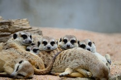Family of Suricates or Meerkats (Suricata suricatta) in relaxation period