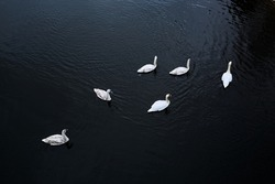 Family of swimming swans on river. Six white birds. Top view. Dark contrast photo. Cold autumn or winter season. Animal wildlife. Together. Ornithology. Nice natural landscape. Spring day. Copy space.