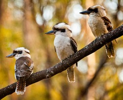 Family of three Kookaburras sitting on a wattle branch in front of green and gold wattle. Iconic Australian bird sat on Australia's national tree in front of Australia's national colours. Aussie as..