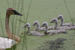 Family of Trumpeter Swans (cygnus buccinator)