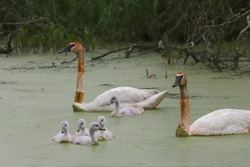 Family of trumpeter swans swimming in algae-covered water