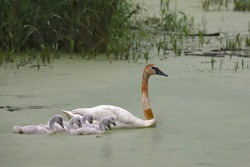 Family of Trumpeter Swans swimming through some algae-covered water