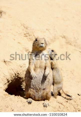 family of two cute marmots on sand outdoor