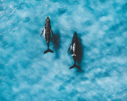 Family of whales cruising with their calf in international water ocean. Humpback whales. killer. mammal, beautiful blue