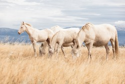 family of white horses eating in the grass in the middle of nature in a sun bet
