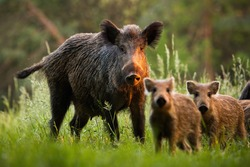 Family of wild boar, sus scrofa,s with young piglets on summer meadow at sunset. Herd of wild animals in last sun rays in nature. Attentive mammals looking to camera.